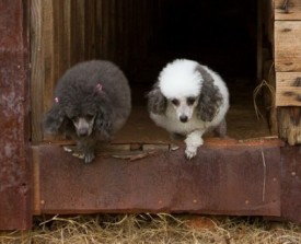 Poodles-in-barn