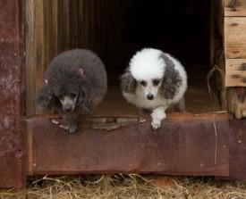 Poodles-in-barn